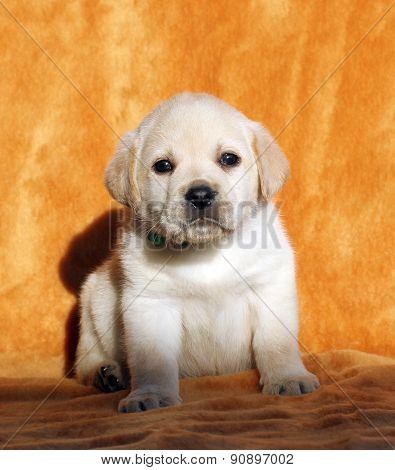 The Yellow Labrador Puppy On Orange Background