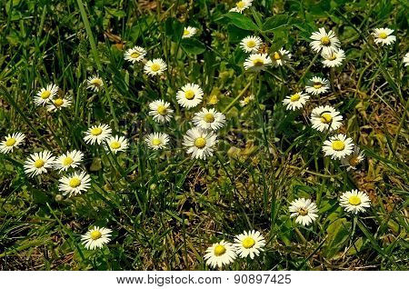 green grass with white small  flowers