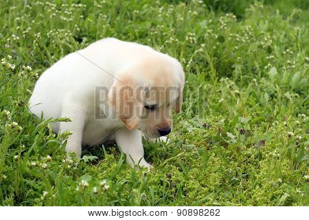 A Yellow Labrador Puppy In Green Grass