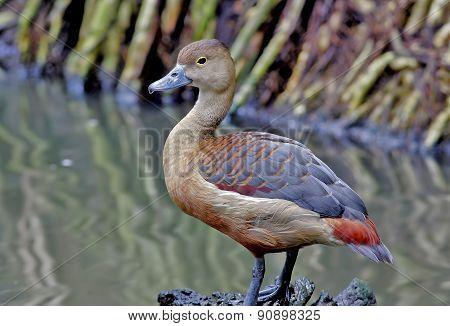 Lesser Whistling Duck Dendrocygna Javanica