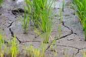 stock photo of mud  - Small rice plants growing in a field with dried cracked mud - JPG