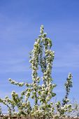 picture of grown up  - cherry tree branches up high grown and blossomed spring - JPG