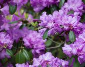 picture of may-flower  - Purple rhododendron flowers closeup with pistils and petals - JPG