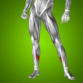 foto of human muscle  - Concept or conceptual 3D human lower leg anatomy or anatomical and muscle on green gradient background - JPG
