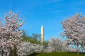 image of washington monument  - Washington Monument surrounded by beautiful cherry trees in full bloom - JPG