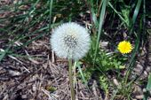 stock photo of dandelion seed  - Dandelion (Taraxacum officinale) seed head, with a dandelion flower in the background.