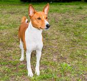 pic of larynx  - Basenji profile Is on the grass in the park - JPG