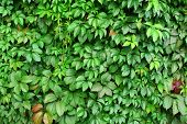 picture of grown up  - Wild Grape Vine Close - JPG