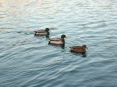 picture of duck pond  - ducks on water in city park pond - JPG