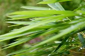 stock photo of bamboo leaves  - beautiful green bamboo leaves  in a jungle background  - JPG