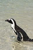 picture of jackass  - African Penguins  - JPG
