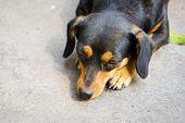 picture of dachshund dog  - Dachshund small dog resting on sunshine day - JPG