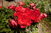 picture of angiosperms  - Dianthus in garden landscape at spring time - JPG