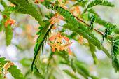 foto of tamarind  - There are flowers of tamarind and tamarind leaves - JPG