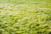 stock photo of windy  - Green barley field in a windy day Beautiful nature scenic - JPG