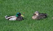 foto of male mallard  - Two Mallard ducks - JPG