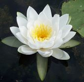 picture of water lily  - White water lily and lily pad on water