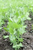 stock photo of pea  - Green Peas plants - peas culture and ground