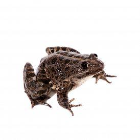 foto of marshes  - Marsh Frog isolated on white background - JPG