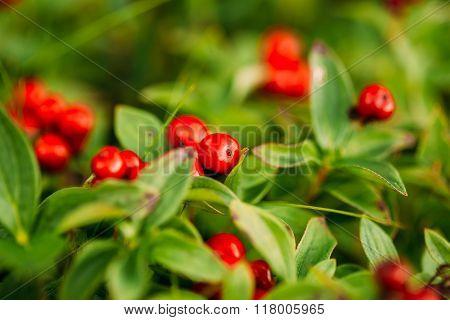 Wild lingon berries closeup, Norway nature.