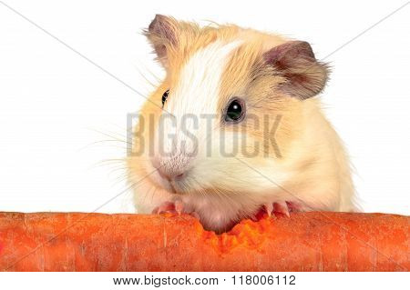Guinea pig crunch huge carrot