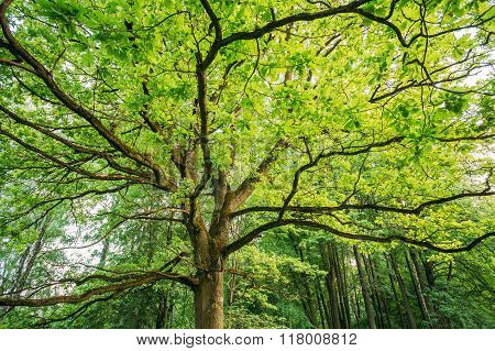 Canopy Of Tall Oak Tree. Sunny Deciduous Forest