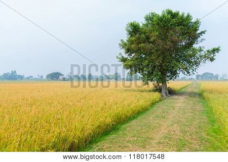 Rice Field Way On The Green Field Background