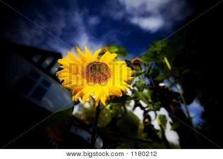 Sun Flower 09