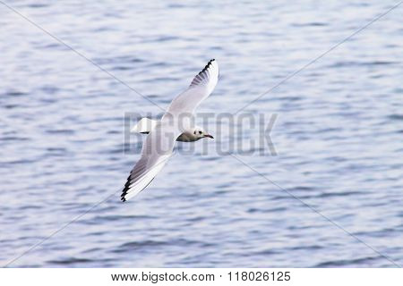 Gull, Cormorant Flies