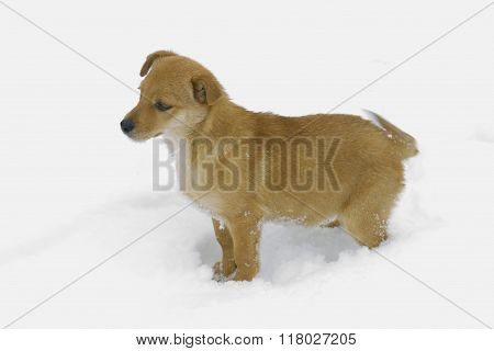 Yellow Puppy Stares At The Snow