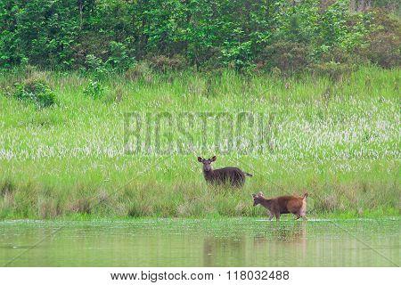 Deer in nature Khao Yai National park Thailand
