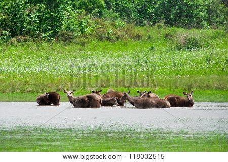 Deer in water Khao Yai National park Thailand