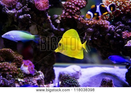 Beautiful zebrasoma salt water aquarium fish for background