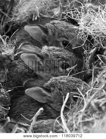 three baby bunny rabbits hiding in grass nest with eyes and ears showing. Black and white