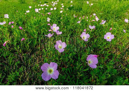 Cluster Of Texas Pink Evening Primrose Wildflowers