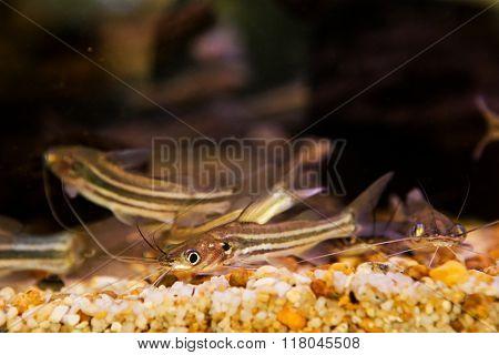 Mystus nigriceps swimming in under water of aquarium