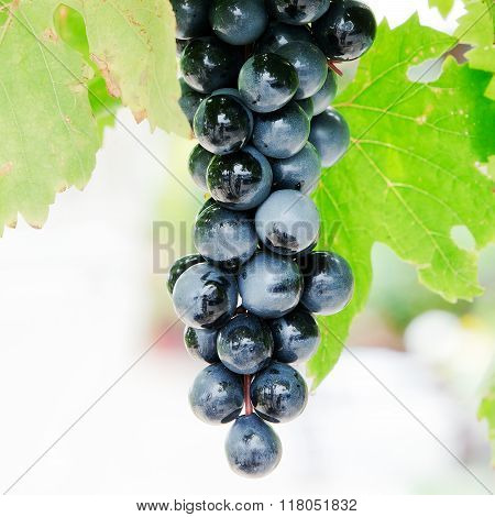 Large bunch of ripe grapes on the vine