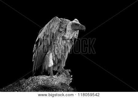 Vulture On Dark Background