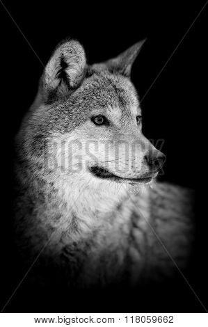 Wolf On Dark Background
