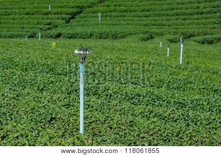 Water Sprinkler In Tea Plantation