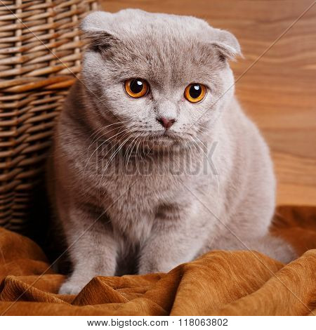 gray cat with yellow eyes Scottish Fold