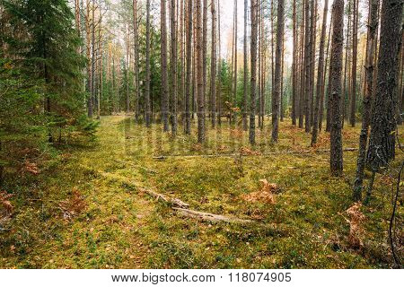 Path, pathway, way in wild autumn evergreen coniferous forest re