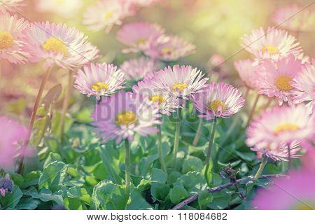 Daisy flowers in spring in meadow