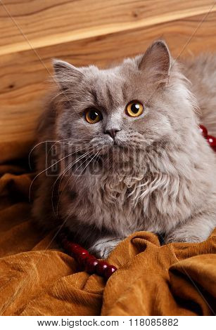 gray cat with yellow eyes isolated on a wooden background