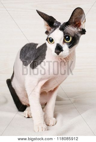 Sphynx black and white  Cat  on wooden background