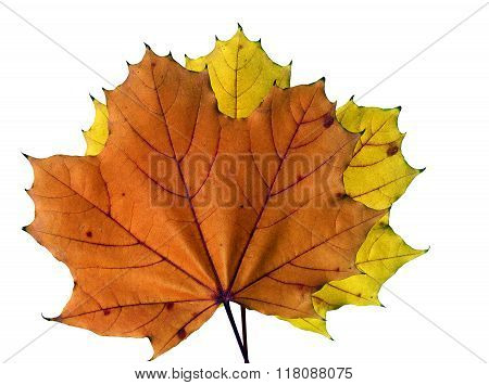 Two colorful maple leafs