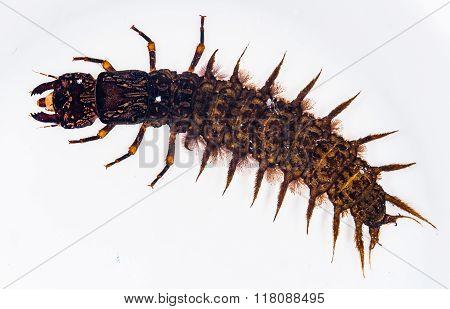 Large Hellgrammite (dobsonfly Larva)