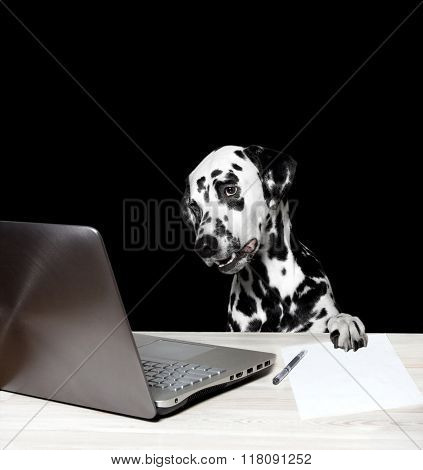 Dalmatian Works At The Computer