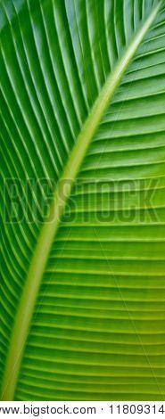New Banana Leaf