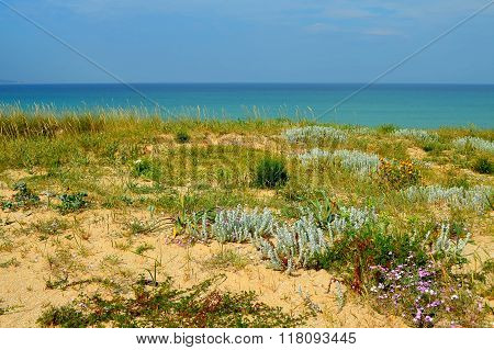 Plants and flowers on  natural sand dunes (A Lanzada, Galicia, Spain)